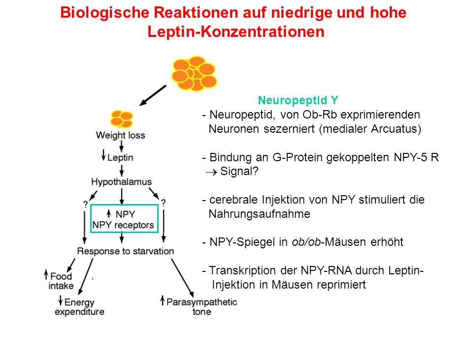 Biologische Reaktionen auf niedrige und hohe Leptin-Konzentrationen Neuropeptid Y - Neuropeptid, von Ob-Rb exprimierenden Neuronen sezerniert (mediale