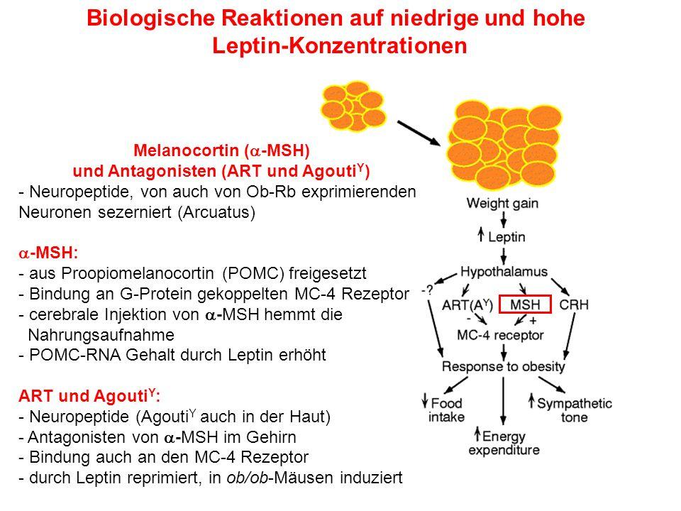 Biologische Reaktionen auf niedrige und hohe Leptin-Konzentrationen Melanocortin ( -MSH) und Antagonisten (ART und Agouti Y ) - Neuropeptide, von auch