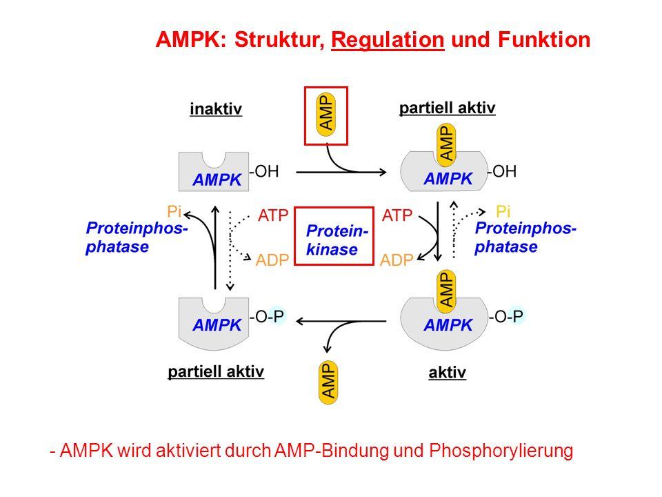 AMPK: Struktur, Regulation und Funktion - AMPK wird aktiviert durch AMP-Bindung und Phosphorylierung
