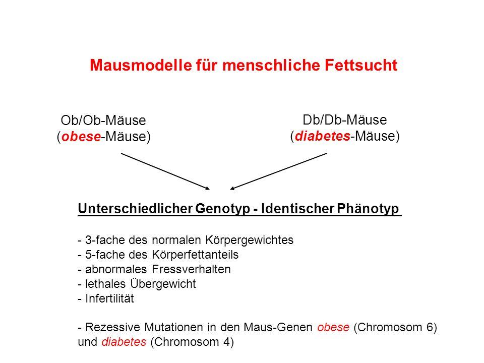 Mausmodelle für menschliche Fettsucht Ob/Ob-Mäuse (obese-Mäuse) Db/Db-Mäuse (diabetes-Mäuse) Unterschiedlicher Genotyp - Identischer Phänotyp - 3-fach