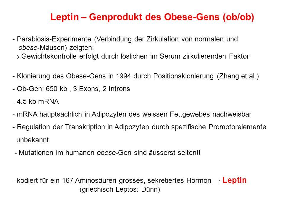 Leptin – Genprodukt des Obese-Gens (ob/ob) - Parabiosis-Experimente (Verbindung der Zirkulation von normalen und obese-Mäusen) zeigten: Gewichtskontro