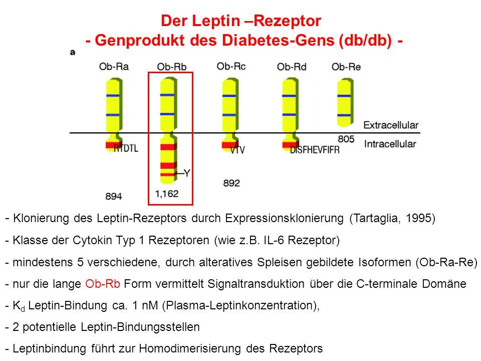 - Klonierung des Leptin-Rezeptors durch Expressionsklonierung (Tartaglia, 1995) - Klasse der Cytokin Typ 1 Rezeptoren (wie z.B. IL-6 Rezeptor) - minde