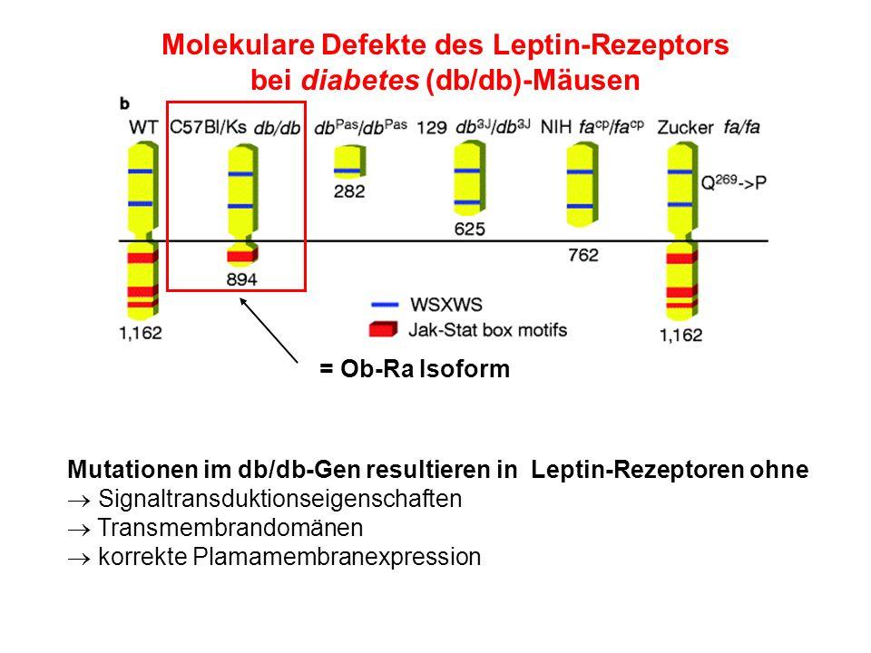 Molekulare Defekte des Leptin-Rezeptors bei diabetes (db/db)-Mäusen = Ob-Ra Isoform Mutationen im db/db-Gen resultieren in Leptin-Rezeptoren ohne Sign
