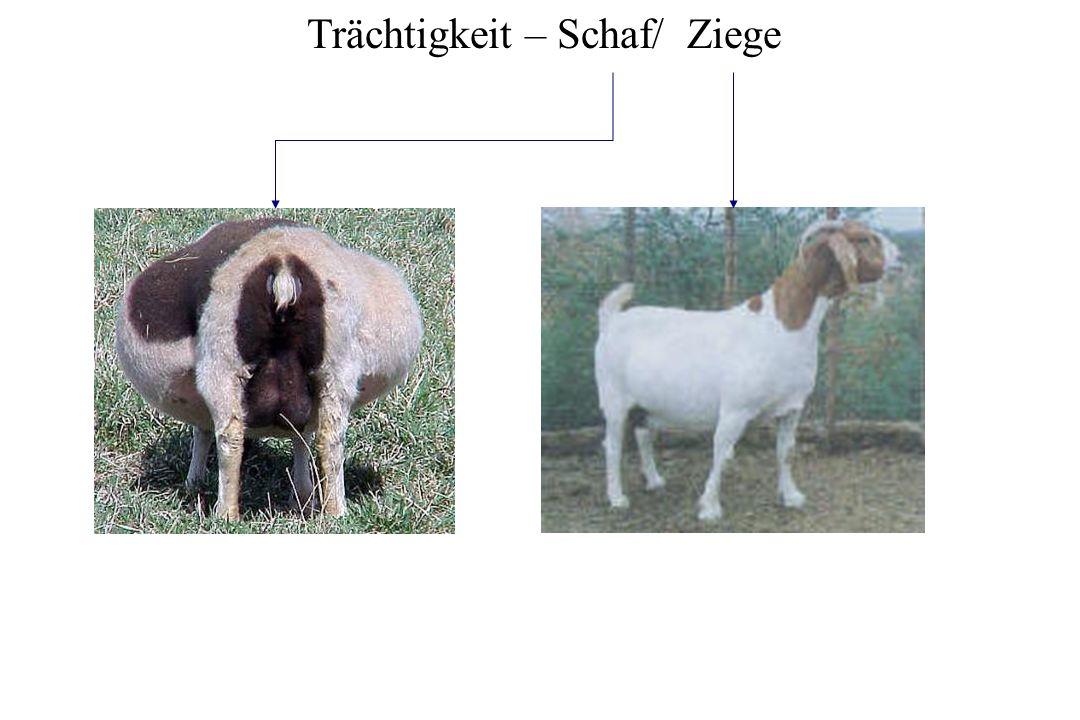 Trächtigkeit – Schaf/ Ziege