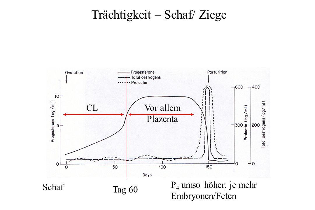Trächtigkeit – Schaf/ Ziege Schaf CLVor allem Plazenta Tag 60 P 4 umso höher, je mehr Embryonen/Feten