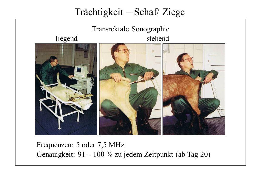 Trächtigkeit – Schaf/ Ziege Transrektale Sonographie liegendstehend Frequenzen: 5 oder 7,5 MHz Genauigkeit: 91 – 100 % zu jedem Zeitpunkt (ab Tag 20)