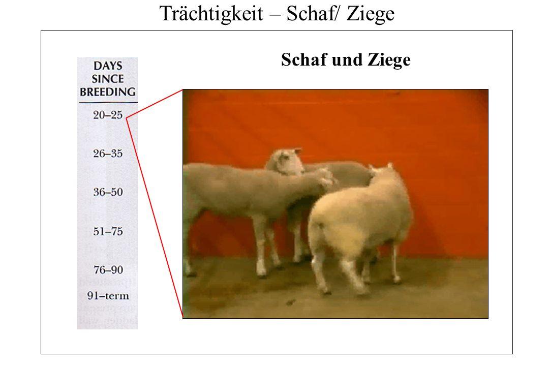 Trächtigkeit – Schaf/ Ziege Schaf und Ziege