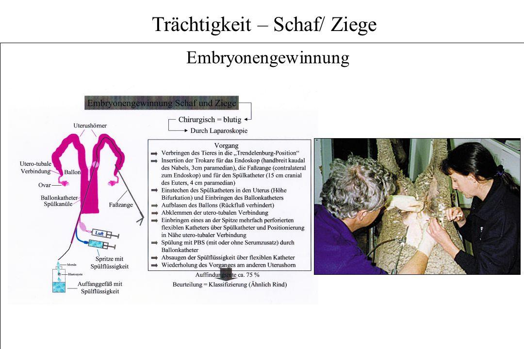 Trächtigkeit – Schaf/ Ziege Embryonengewinnung