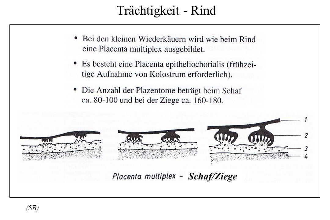 Trächtigkeit - Rind (SB) Schaf/Ziege