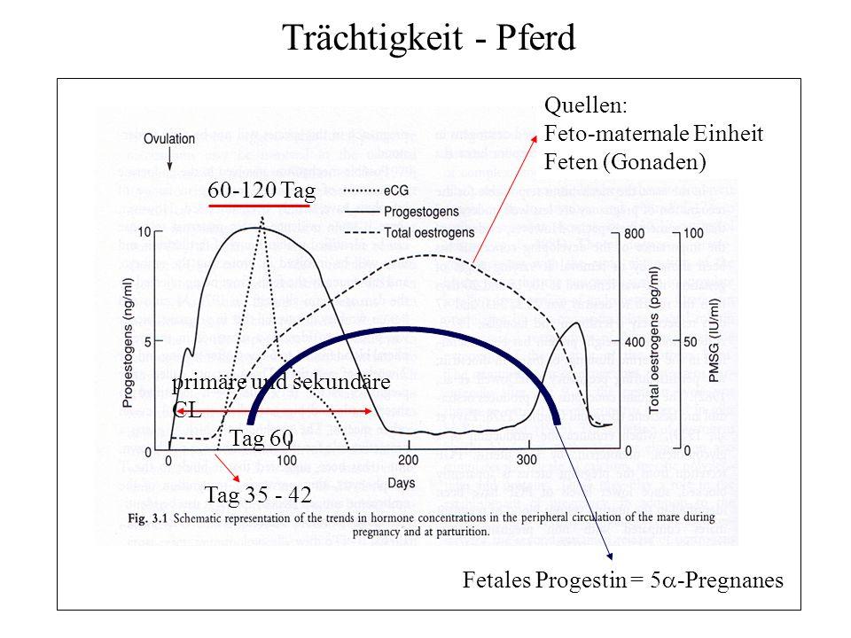 12 Trächtigkeit - Pferd Quellen: Feto-maternale Einheit Feten (Gonaden) primäre und sekundäre CL Tag 35 - 42 Fetales Progestin = 5 -Pregnanes Tag 60 6