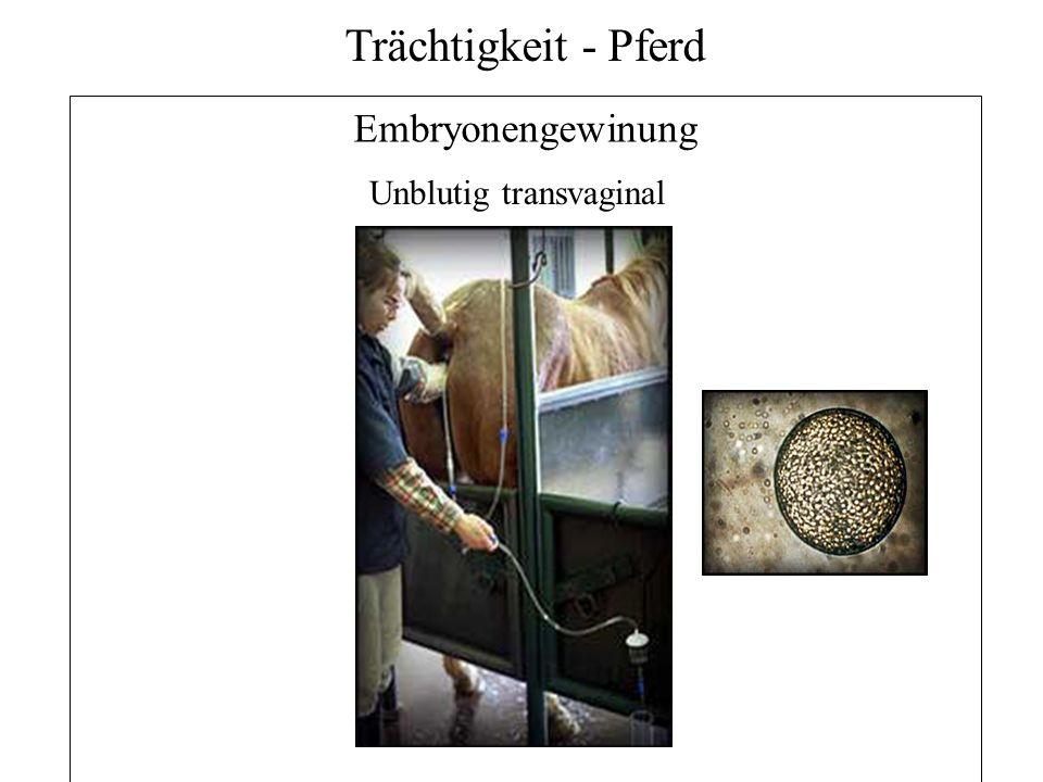 27 Trächtigkeit - Pferd Embryonengewinung Unblutig transvaginal