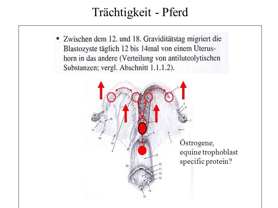 25 Trächtigkeit - Pferd Verfahren zur Trächtigkeitsuntersuchung Biochemische Verfahren Bestimmung von Progesteron im Blut/ Milch (Tag 16-22) nicht genaue und nicht akzeptiert Bestimmung von PMSG/eCG im Blut (Tage 50-90; 40-120 auch möglich; Problem: auch nach EM wird weiter eCG produziert Bestimmung von Östrogen im Blut/Harn (Ab Tag 85 im B, zwischen Tagen 150 u.