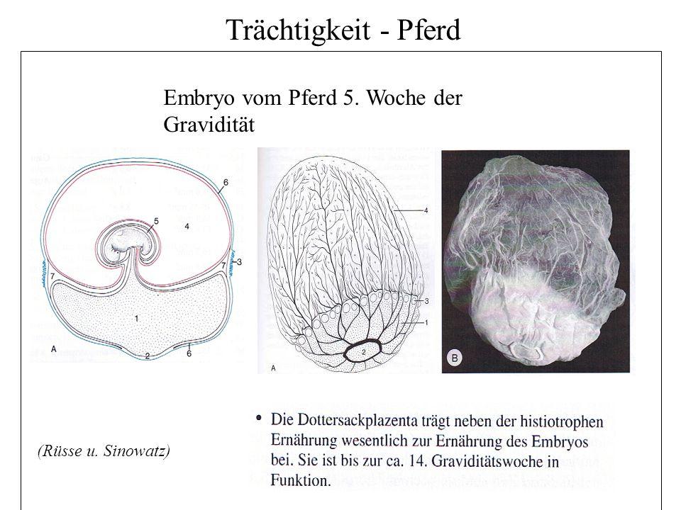 7 Embryo vom Pferd 5. Woche der Gravidität (Rüsse u. Sinowatz)