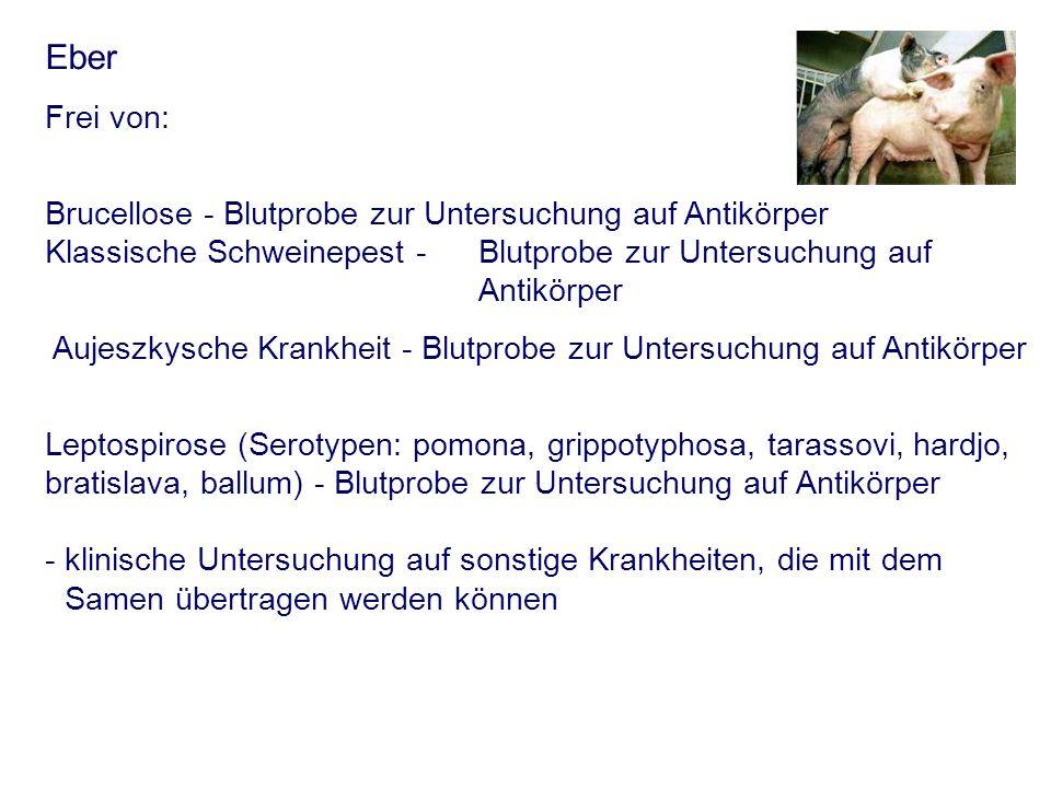 Eber Frei von: Brucellose - Blutprobe zur Untersuchung auf Antikörper Klassische Schweinepest - Blutprobe zur Untersuchung auf Antikörper Aujeszkysche
