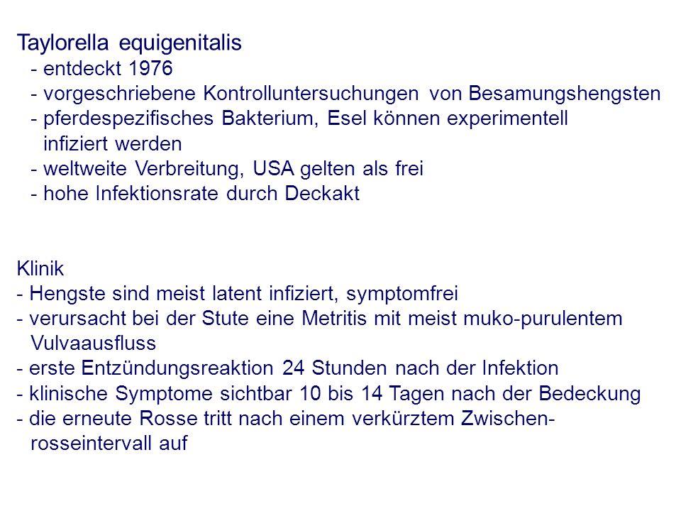 Taylorella equigenitalis - entdeckt 1976 - vorgeschriebene Kontrolluntersuchungen von Besamungshengsten - pferdespezifisches Bakterium, Esel können experimentell infiziert werden - weltweite Verbreitung, USA gelten als frei - hohe Infektionsrate durch Deckakt Klinik - Hengste sind meist latent infiziert, symptomfrei - verursacht bei der Stute eine Metritis mit meist muko-purulentem Vulvaausfluss - erste Entzündungsreaktion 24 Stunden nach der Infektion - klinische Symptome sichtbar 10 bis 14 Tagen nach der Bedeckung - die erneute Rosse tritt nach einem verkürztem Zwischen- rosseintervall auf