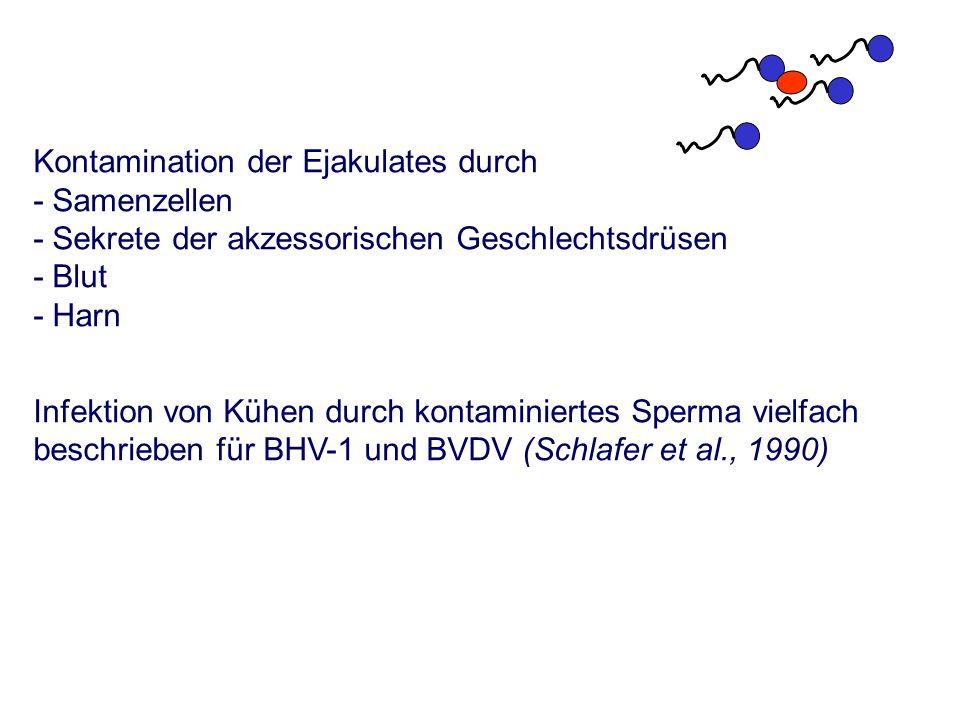 Kontamination der Ejakulates durch - Samenzellen - Sekrete der akzessorischen Geschlechtsdrüsen - Blut - Harn Infektion von Kühen durch kontaminiertes Sperma vielfach beschrieben für BHV-1 und BVDV (Schlafer et al., 1990)