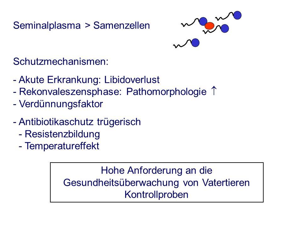 Seminalplasma > Samenzellen Schutzmechanismen: - Akute Erkrankung: Libidoverlust - Rekonvaleszensphase: Pathomorphologie - Verdünnungsfaktor - Antibiotikaschutz trügerisch - Resistenzbildung - Temperatureffekt Hohe Anforderung an die Gesundheitsüberwachung von Vatertieren Kontrollproben