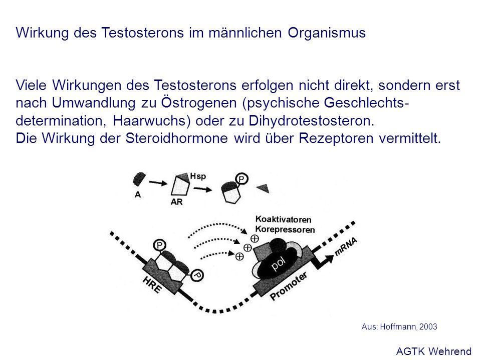 Wirkung des Testosterons im männlichen Organismus Viele Wirkungen des Testosterons erfolgen nicht direkt, sondern erst nach Umwandlung zu Östrogenen (psychische Geschlechts- determination, Haarwuchs) oder zu Dihydrotestosteron.