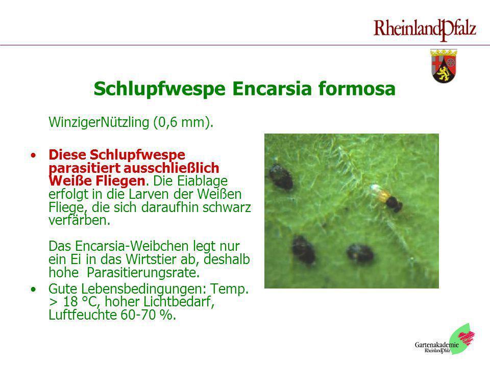 Schlupfwespe Encarsia formosa WinzigerNützling (0,6 mm). Diese Schlupfwespe parasitiert ausschließlich Weiße Fliegen. Die Eiablage erfolgt in die Larv