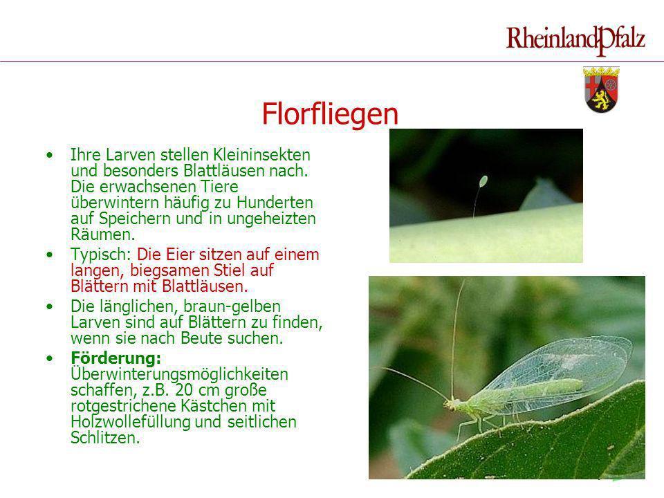 Florfliegen Ihre Larven stellen Kleininsekten und besonders Blattläusen nach. Die erwachsenen Tiere überwintern häufig zu Hunderten auf Speichern und