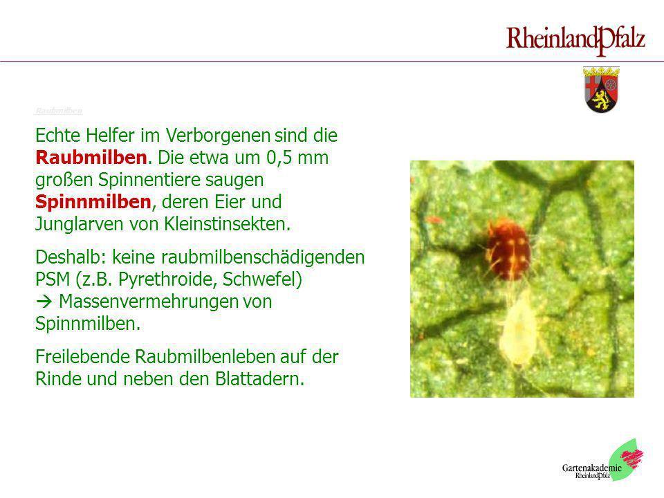 Raubmilben Echte Helfer im Verborgenen sind die Raubmilben. Die etwa um 0,5 mm großen Spinnentiere saugen Spinnmilben, deren Eier und Junglarven von K
