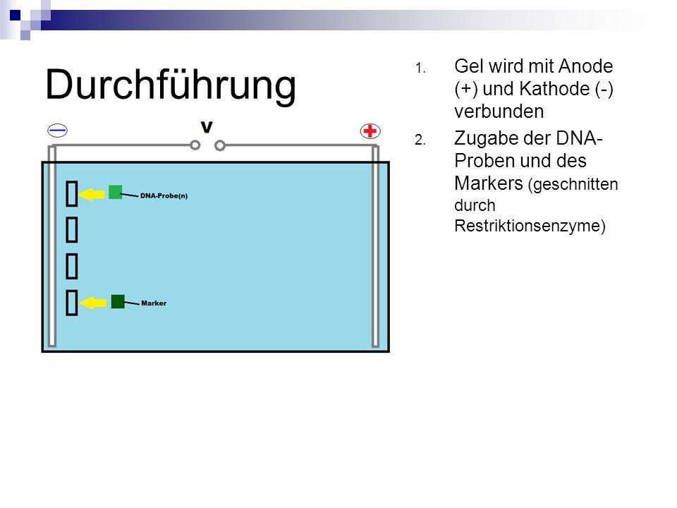 Durchführung 1. Gel wird mit Anode (+) und Kathode (-) verbunden 2. Zugabe der DNA- Proben und des Markers (geschnitten durch Restriktionsenzyme)