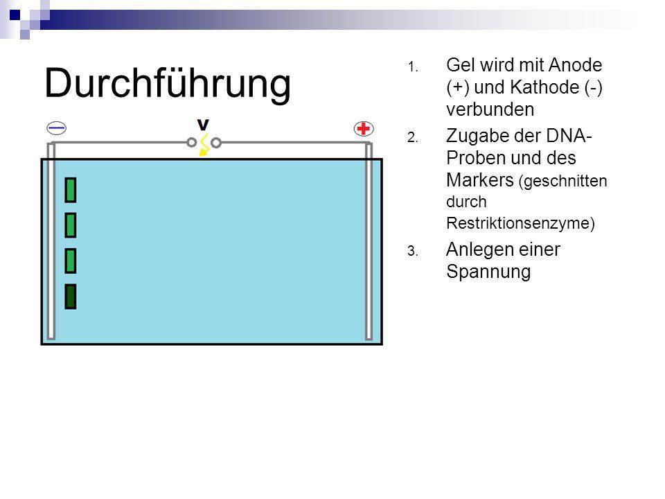 Durchführung 1. Gel wird mit Anode (+) und Kathode (-) verbunden 2. Zugabe der DNA- Proben und des Markers (geschnitten durch Restriktionsenzyme) 3. A