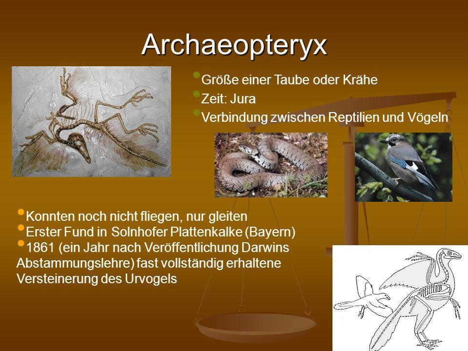 Archaeopteryx Größe einer Taube oder Krähe Zeit: Jura Verbindung zwischen Reptilien und Vögeln Konnten noch nicht fliegen, nur gleiten Erster Fund in