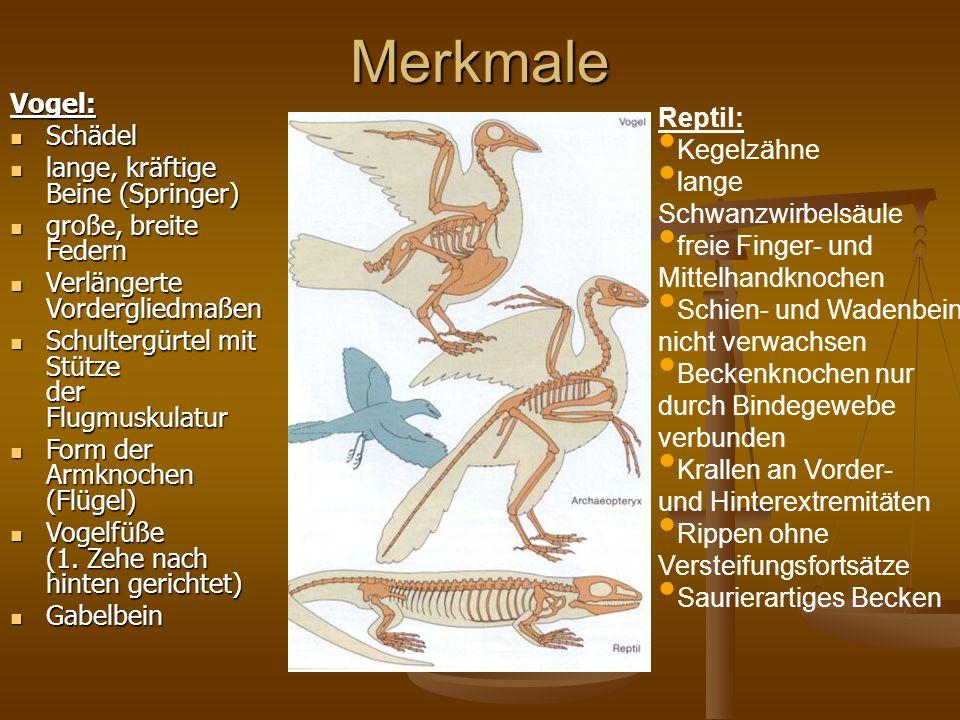 MerkmaleVogel: Schädel Schädel lange, kräftige Beine (Springer) lange, kräftige Beine (Springer) große, breite Federn große, breite Federn Verlängerte