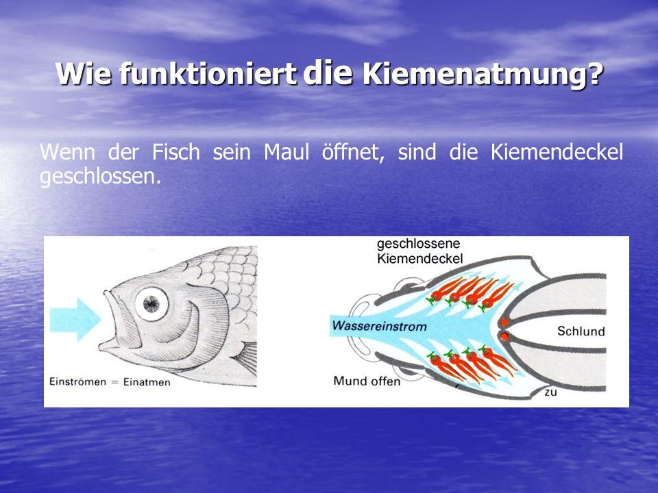 Fische können dagegen im Wasser atmen, denn sie besitzen dafür ein spezielles Atmungsorgan: Die Kiemen