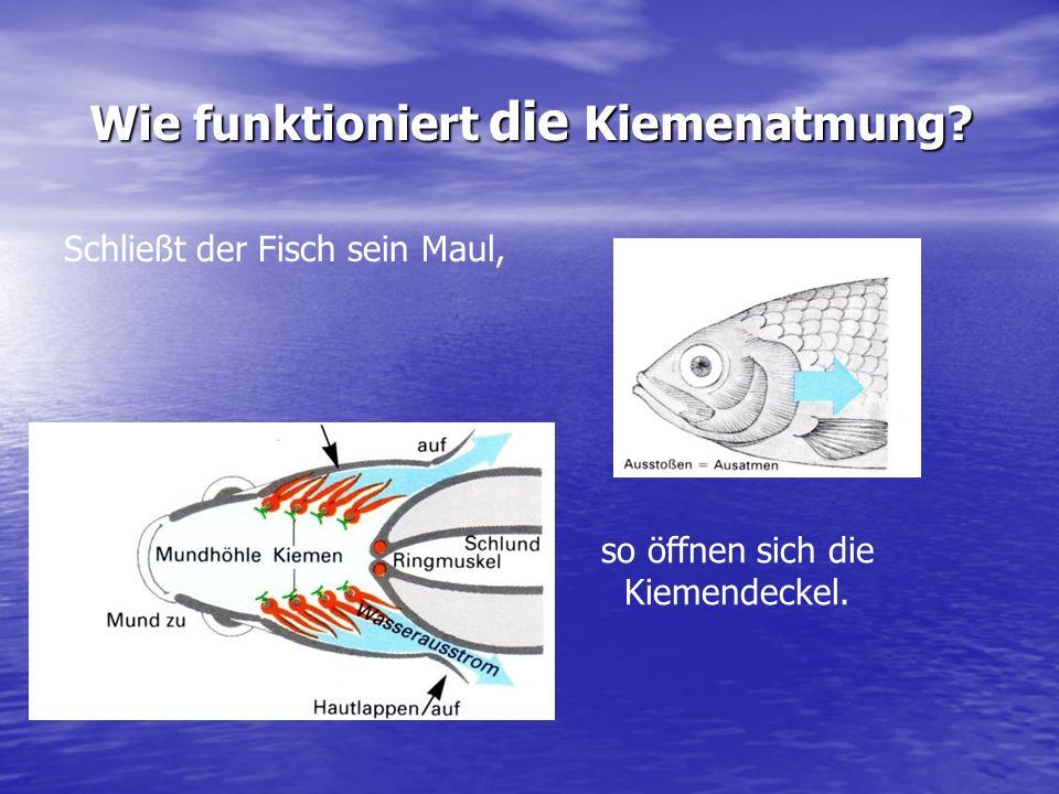 Wie funktioniert die Kiemenatmung? Wenn der Fisch sein Maul öffnet, sind die Kiemendeckel geschlossen.