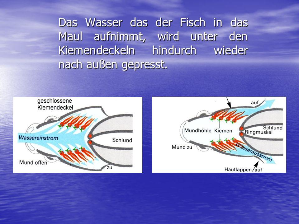 Wie funktioniert die Kiemenatmung? Schließt der Fisch sein Maul, so öffnen sich die Kiemendeckel.