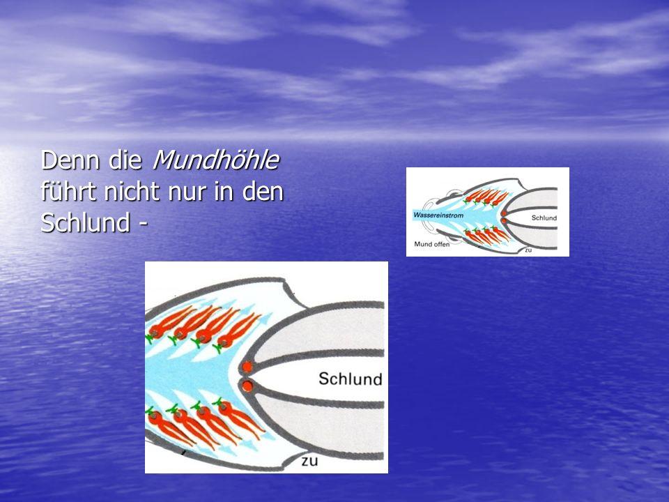 Das Wasser das der Fisch in das Maul aufnimmt, wird unter den Kiemendeckeln hindurch wieder nach außen gepresst.
