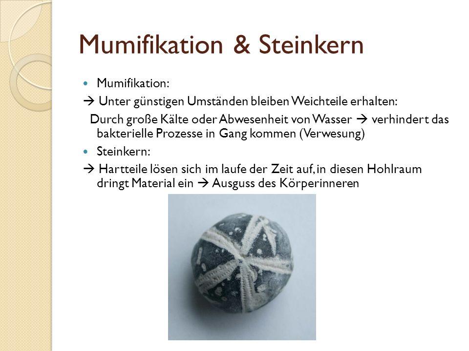Mumifikation & Steinkern Mumifikation: Unter günstigen Umständen bleiben Weichteile erhalten: Durch große Kälte oder Abwesenheit von Wasser verhindert