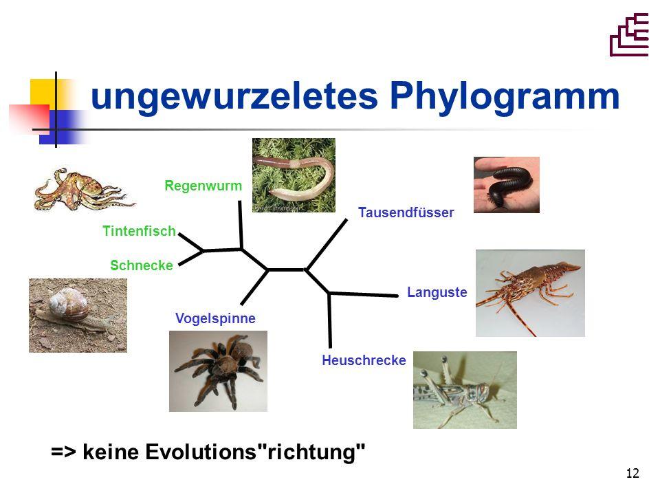 12 ungewurzeletes Phylogramm Vogelspinne Heuschrecke Languste Tausendfüsser Regenwurm Tintenfisch Schnecke => keine Evolutions