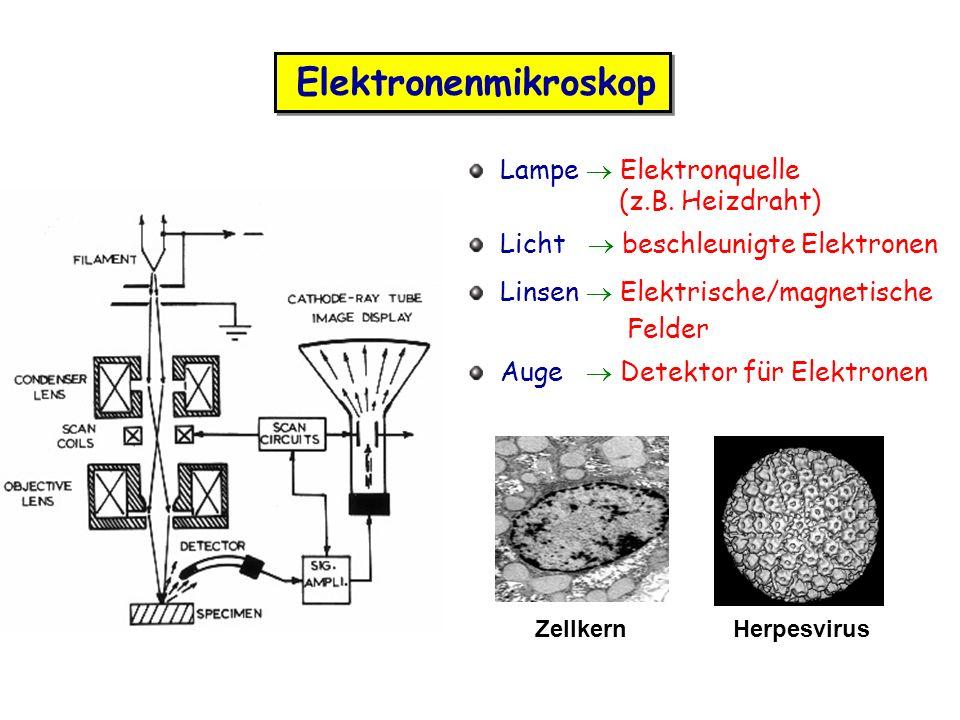 Elektronenmikroskop Herpesvirus Lampe Elektronquelle (z.B. Heizdraht) Licht beschleunigte Elektronen Linsen Elektrische/magnetische Felder Auge Detekt