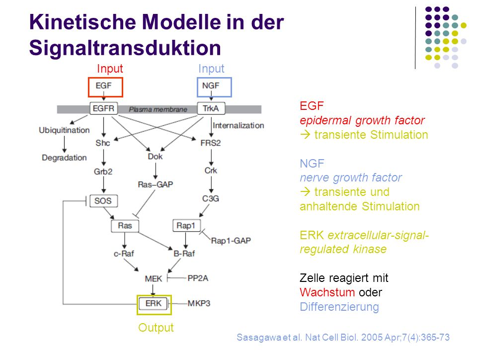 Kinetische Modelle in der Signaltransduktion Sasagawa et al. Nat Cell Biol. 2005 Apr;7(4):365-73 Input Output Input EGF epidermal growth factor transi