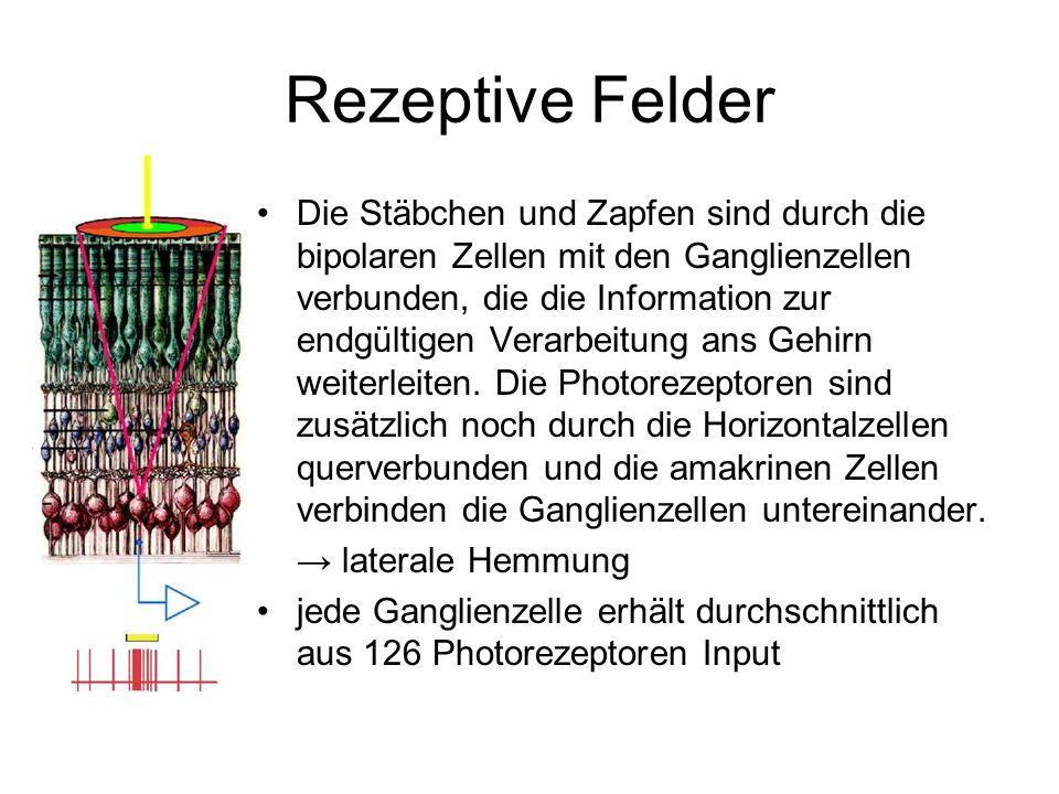 Rezeptive Felder Die Stäbchen und Zapfen sind durch die bipolaren Zellen mit den Ganglienzellen verbunden, die die Information zur endgültigen Verarbe