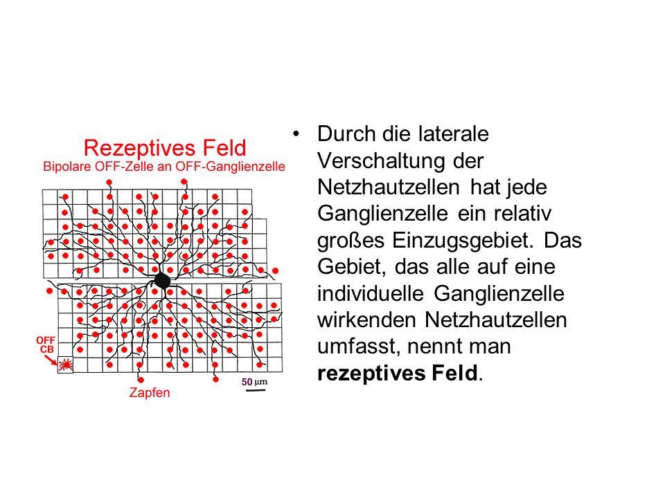 Durch die laterale Verschaltung der Netzhautzellen hat jede Ganglienzelle ein relativ großes Einzugsgebiet. Das Gebiet, das alle auf eine individuelle