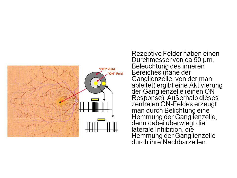 Rezeptive Felder haben einen Durchmesser von ca 50 µm. Beleuchtung des inneren Bereiches (nahe der Ganglienzelle, von der man ableitet) ergibt eine Ak