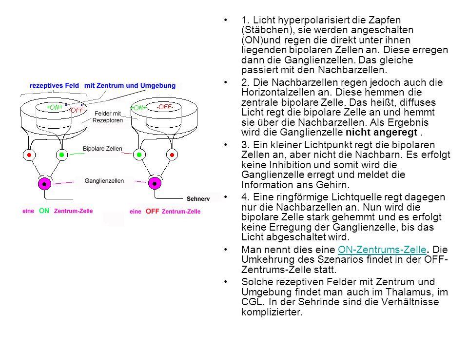 1. Licht hyperpolarisiert die Zapfen (Stäbchen), sie werden angeschalten (ON)und regen die direkt unter ihnen liegenden bipolaren Zellen an. Diese err