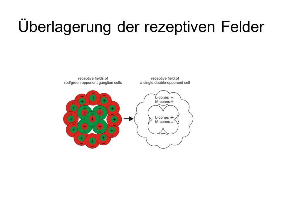 Überlagerung der rezeptiven Felder