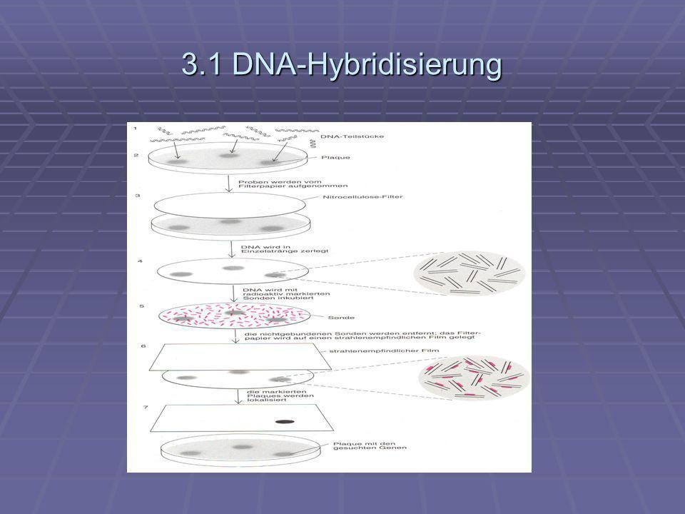 3.1.1 Ergebnisse der DNA- Hybridisierung Rinder-Sonde ( DNA- Einzelstrang vom Rinder- Rhodopsin- Gen) verband sich wirklich fest nur mit einem einzigen Strang der menschl.