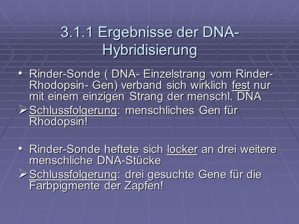 Zwei der drei durch die Sonde entdeckten Gene lagen auf dem X-Chromosom (in der Region, in der nach der klassischen Genetik der Defekt für die Rot-Grün-Blindheit liegen sollte) Zwei der drei durch die Sonde entdeckten Gene lagen auf dem X-Chromosom (in der Region, in der nach der klassischen Genetik der Defekt für die Rot-Grün-Blindheit liegen sollte) Schlussfolgerung: Gene der rot- und grünempfindlichen Zapfenpigmente Schlussfolgerung: Gene der rot- und grünempfindlichen Zapfenpigmente Gen für blauempfindliches Zapfenpigment liegt nicht auf Geschlechtschromosom Gen für blauempfindliches Zapfenpigment liegt nicht auf Geschlechtschromosom liegt auf 7.