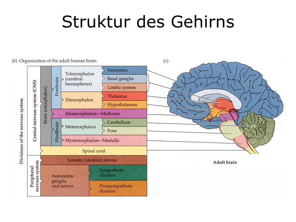Struktur des Gehirns
