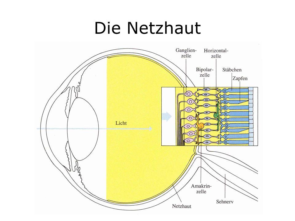 Photorezeptoren Electron micrograph of rods and cones Zapfen (cones) Die Netzhaut (retina) hat zwei Typen von Photorezeptoren: 1.Zapfen (cones) für das Sehen bei Tag 2.Stäbchen (rods) für das Sehen bei Nacht