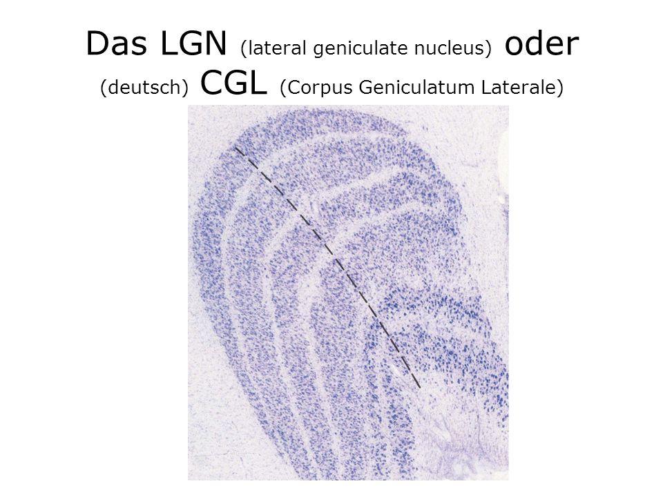 Das LGN (lateral geniculate nucleus) oder (deutsch) CGL (Corpus Geniculatum Laterale)