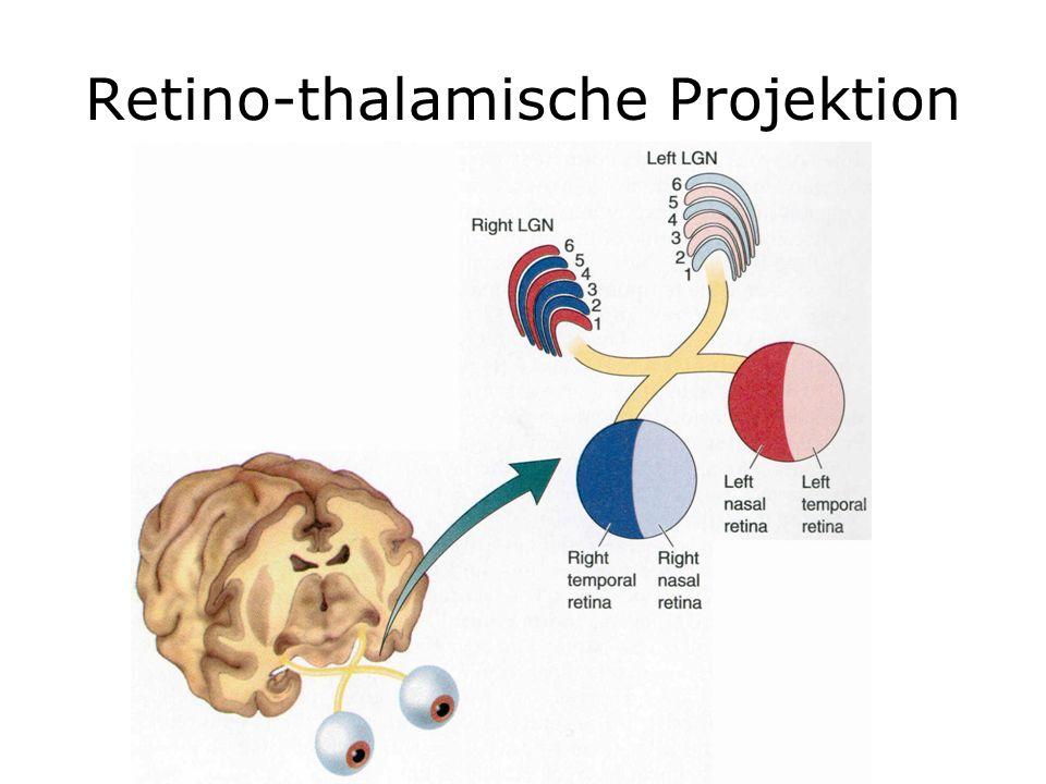 Retino-thalamische Projektion