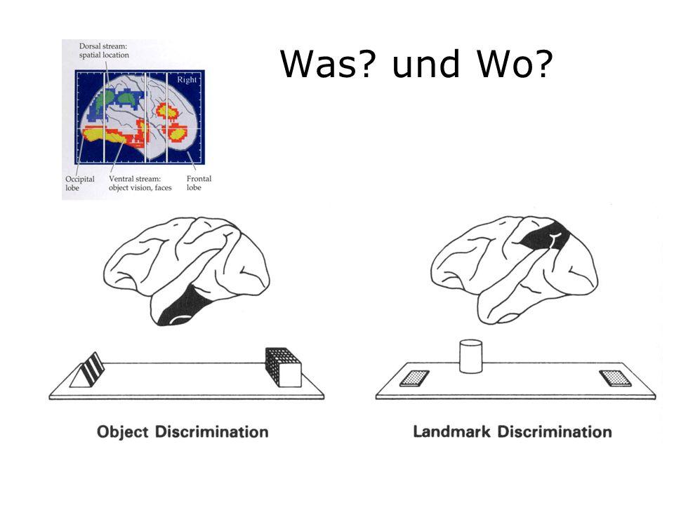 Zusammenfassung Neurone sind die grundlegende Einheit für das die Informationsverarbeitung im Gehirn Im Auge findet bereits eine effiziente Verarbeitung des visuellen Reizes statt Der visuelle Kortex ist in Bereichen (modular), Säulen (kolumnar) und Schichten (laminar) organisiert Der visuelle Raum ist im Gehirn auf vielen Verarbeitungsebenen retinotop abgebildet