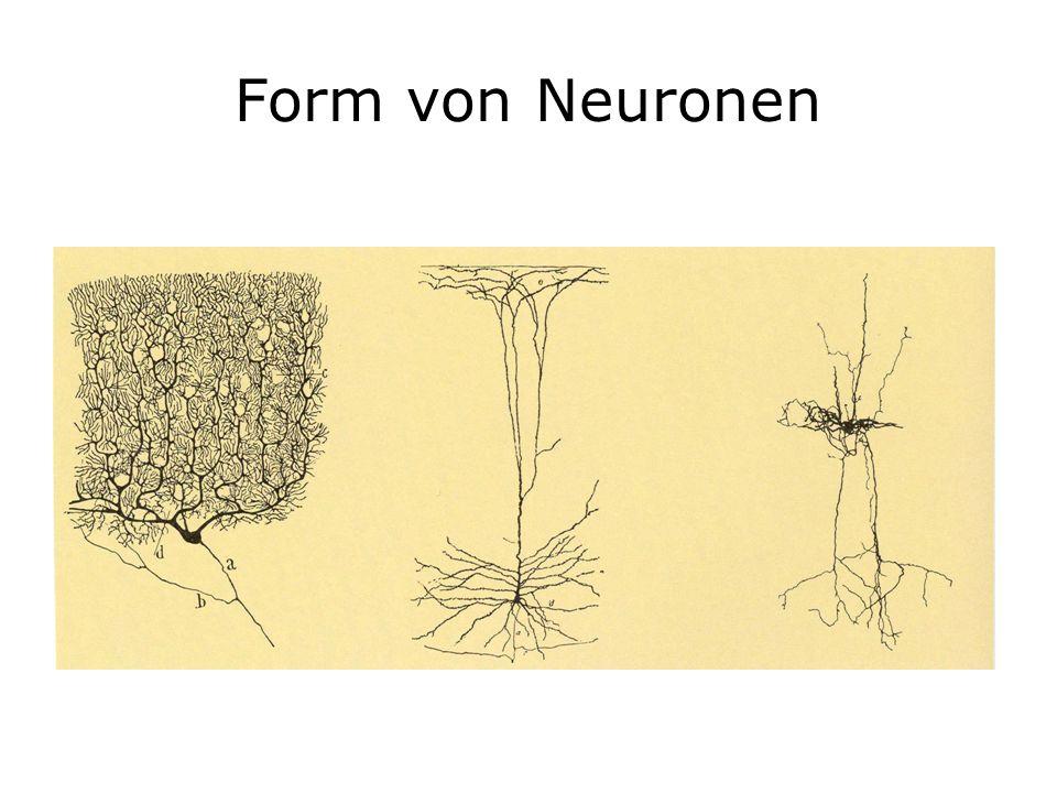 Form von Neuronen